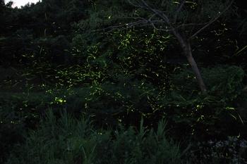 川辺の蛍1.JPG
